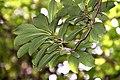 Viburnum sieboldii in Eastwoodhill Arboretum (3).jpg