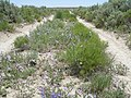 Vicia americana (5822808005).jpg