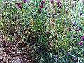 Vicia craca habitus CampodeCalatrava.jpg