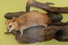 opossum brun quatre yeux wiktionnaire. Black Bedroom Furniture Sets. Home Design Ideas