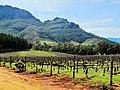 Vignoble palissé à Stellenbosch.jpg