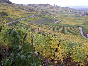 Alsace wine - Vineyards close to the village Kaysersberg in Alsace.