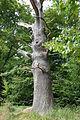 Vilm abgestorbener Baum Ostufer Großer Vilm.jpg