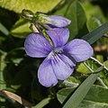 Viola canina-Violette des chiens-F3-20160428.jpg