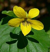 Viola glabella 3.jpg