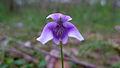 Viola hederacea flower (15495751344).jpg