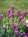 Viscaria vulgaris Smółka pospolita 2015-05-17 02.jpg