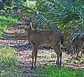 WHITE-TAILED DEER WITH BAD FOOT (9786392902).jpg
