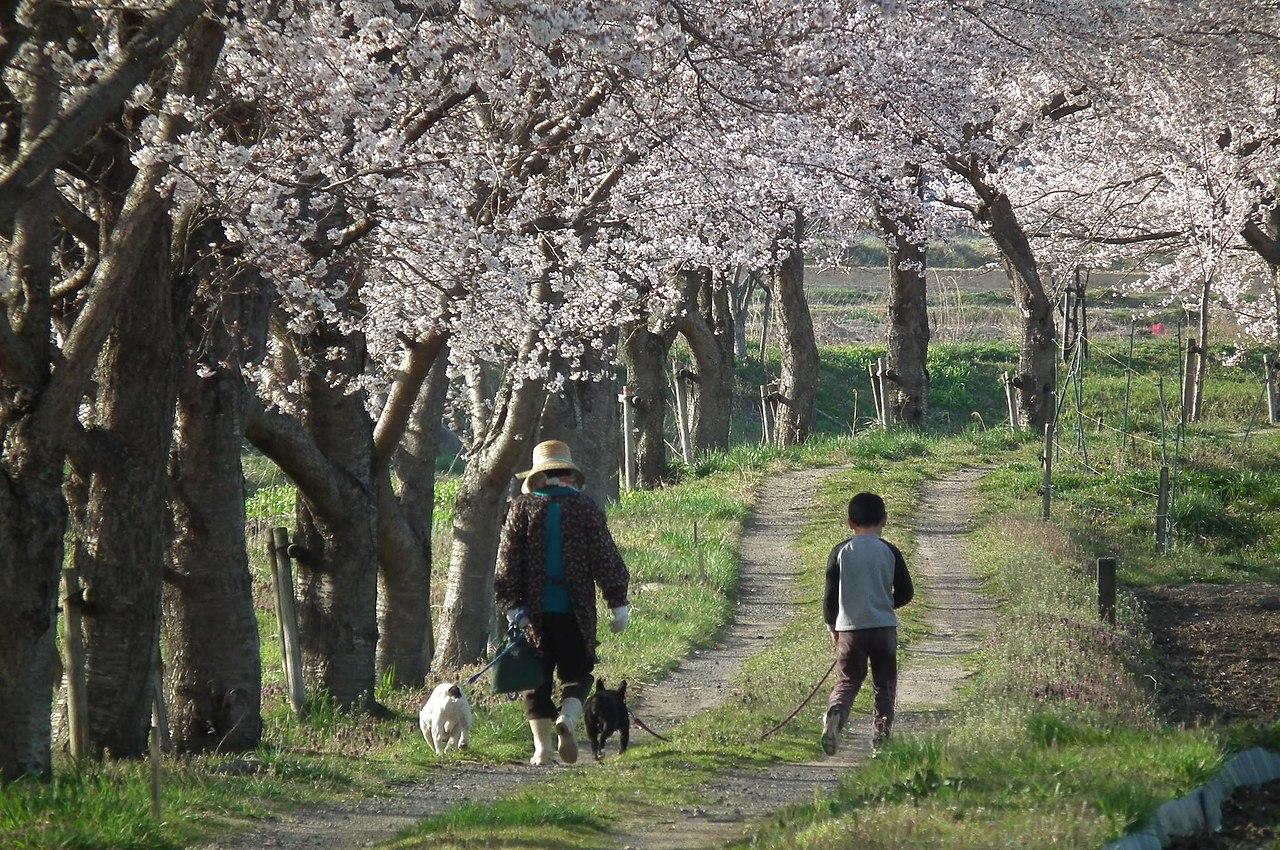 Ein Spaziergang unter Kirschbäumen (Japan, 2011)