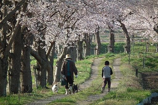 Walk under the cherry tree Muko-River サクラの木下の散歩(武庫川上流) DSCF0228☆