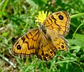 Wall Brown. Lasiommata megera. Female - Flickr - gailhampshire (1).jpg