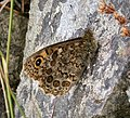 Wall Brown. Lasiommata megera (38732201755).jpg