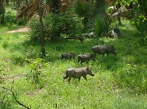 Niokolo-Koba National Park - Warthog