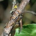 Wasp (35270990814).jpg