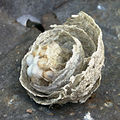 Wasp nest turned upside-down.jpg
