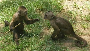 Dominance hierarchy - Wedge-capped capuchins have a clear dominance hierarchy