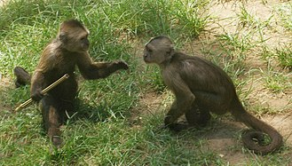Homology (biology) - Dominance hierarchy behaviour, as in these weeper capuchin monkeys, may be homologous across the primates.