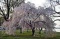Weeping cherry on the Potomac River 02 - 2013-04-09 (8634372283).jpg