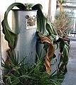 Welwitschia mirabilis (4736558231).jpg