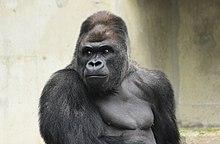 Panties For Gorillas Photos