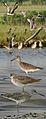 Western Willet From The Crossley ID Guide Eastern Birds.jpg