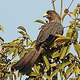 Western grey plantain-eater (Crinifer piscator).jpg