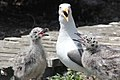 Western gull and chicks (6088542449).jpg