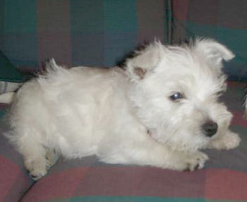 West Highland White Terrier puppy (Taegan) lay...