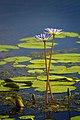 Wetland Flower No Clue Aransas Nwr Texas (30303077).jpeg