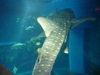File:Whale Sharks - Osaka Aquarium.webm