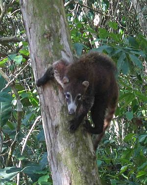 Corcovado National Park - Coati
