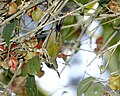 White-flanked Sunbird (Aethopyga eximia) - Flickr - Lip Kee (3).jpg