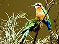 White-fronted Bee-eater Merops bullockoides.jpg