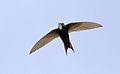 White-rumped swift, Apus caffer, at Suikerbosrand Nature Reserve, Gauteng, South Africa (30213098810).jpg