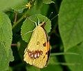 White Orange Tip (Ixias marianne) W IMG 2924.jpg