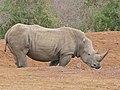 White Rhino (Ceratotherium simum) coming to drink ... (32374848421).jpg