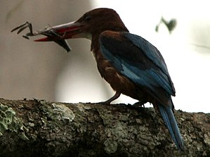 White-throated kingfisher - White Throated Kingfisher with Praying Mantis kill