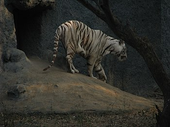 White Tiger Cooling Off in a Summer Evening. 07.jpg