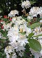 White rhododendron Arboretum Belmonte Wageningen.jpg