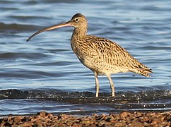 Wiki Eastern Curlew Oyster Pt Cleveland 112 edit 2 comp.jpg