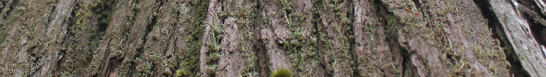 Wikivoyage page banner mossy tree bark NW.jpg
