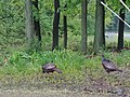 Wild Turkeys in Winfield, IL.jpg