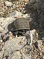 Wild desert tortoise shown in rocky habitat at or near Red Rock Canyon National Conservation Area.jpg