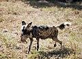 Wild dog eating chicken, North West Province (6253259612).jpg