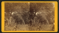 Wild fig, from Robert N. Dennis collection of stereoscopic views.png