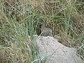 Wildkaninchen fehmarn.JPG