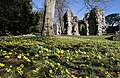 Winter Aconites at Dryburgh Abbey - geograph.org.uk - 1733146.jpg