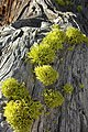Wolf Lichen (2972547826).jpg