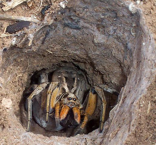 Tiedosto:Wolf spider tunnel.jpg – Wikipedia