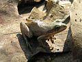 Wood Frog - Flickr - GregTheBusker.jpg